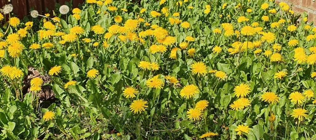 lots of dandelions in the garden